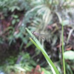 Dragonfly (Lymbellago hyalina) newly emerged