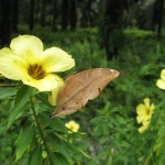 The Autumn Leaf Butterfly (Doleschallia bisaltide) female feeding on flower
