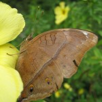 Closer up of The Autumn Leaf Butterfly (Doleschallia bisaltide)