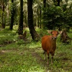BEFTA_snaddon-cow with cacao in smallholder plantation_2