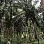 Cutting down the oil palm bunch