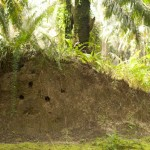 BEFTA_snaddon-kingfisher holes in termite mound