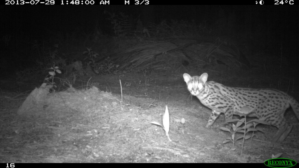 A leopard cat caught on camera in one of the BEFTA plots