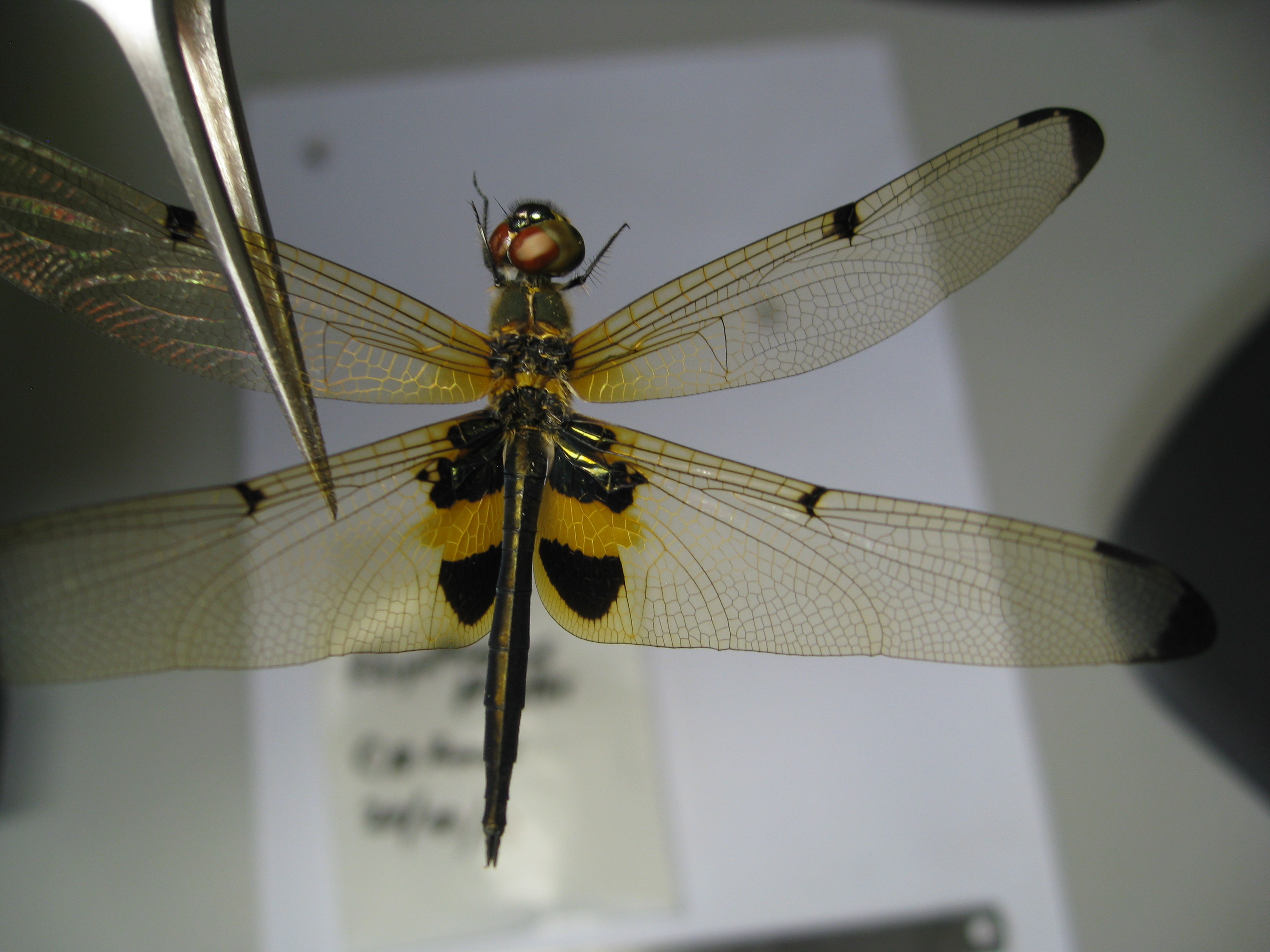 Rhyothemis phyllis specimen