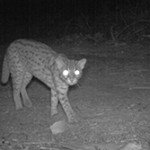 October 2013: Leopard cat (Prionailurus bengalensis). This beautiful animal was photographed on one of the camera traps in the BEFTA plots. These small cats are fairly common in the plantations where they feed on a variety of prey including rats. This individual heard the click of the camera a moment before and is responding to the unusual noise by putting its back up!