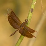 May 2014: Neurothemis fluctuans sometimes called the Red Grasshawk. Males of these are medium sized dragonflies are brownish-red with a clear tip of the wings, females are lighter brown. As the name suggests the intensity of the colour is variable and changes with age. Making use of the ditches along the roads these dragonflies are found in abundance in the plantation.